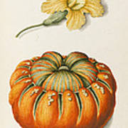 Courgette And A Pumpkin Poster by Joseph Jacob Plenck