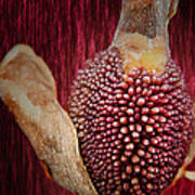 Crimson Canna Lily Bud Poster by Bill Tiepelman