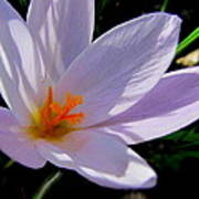 Crocus Flower Poster by Joyce Woodhouse