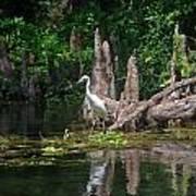 Crystal River Egret Poster by Skip Willits