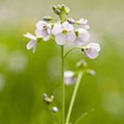 Cuckooflower Poster by Anne Gilbert