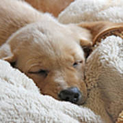 Cuddling Labrador Retriever Puppy Poster by Jennie Marie Schell