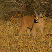 Curious Caracal Cub Poster by Ashley Vincent