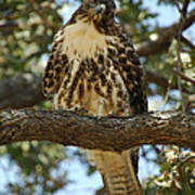 Curious Redtail Poster by Donna Blackhall