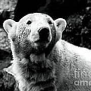 Cute Knut Poster by John Rizzuto