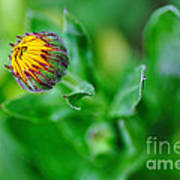Daisy Bud Ready To Bloom Poster by Kaye Menner