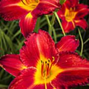 Day Lilies Poster by Adam Romanowicz