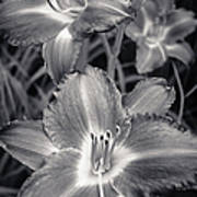 Day Lilies In Black And White Poster by Adam Romanowicz