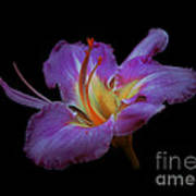 Daylily Bloom In The Dark Poster by ImagesAsArt Photos And Graphics