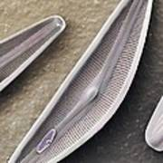 Diatom Frustules (sem) Poster by Science Photo Library