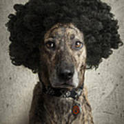 Dog With A Crazy Hairdo Poster by Chad Latta