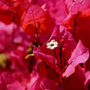 Electric Pink Bougainvillea Poster by Rona Black