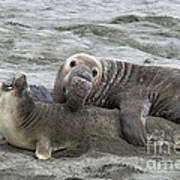 Elephant Seals Mating Poster by Mark Newman