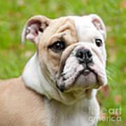 English Bulldog Puppy Poster by Natalie Kinnear