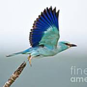 Eurasian Roller Poster by Johan Swanepoel