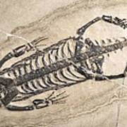 Extinct Reptile Skeleton Poster by Science Photo Library