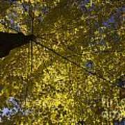 Fall Maple Poster by Steven Ralser