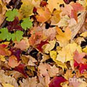 Fall Maples Poster by Steven Ralser