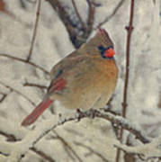 Female Cardinal In The Snow II Poster by Sandy Keeton