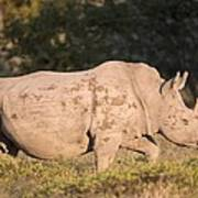 Female White Rhinoceros Poster by Science Photo Library