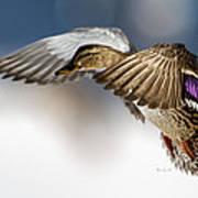 Flight Of The Mallard Poster by Bob Orsillo