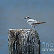 Forster's Tern Poster by Louise Heusinkveld
