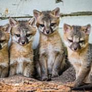 Four Fox Kits Poster by Paul Freidlund