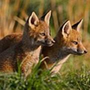 Fox Cubs At Sunrise Poster by William Jobes