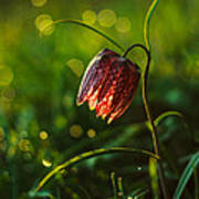 Fritillaria Meleagris Poster by Davorin Mance