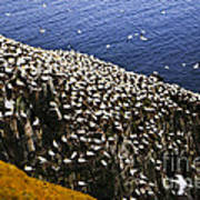 Gannets At Cape St. Mary's Ecological Bird Sanctuary Poster by Elena Elisseeva