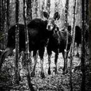 Gathering Of Moose Poster by Bob Orsillo
