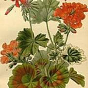 Geraniums Poster by Philip Ralley