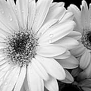 Gerber Daisies In Black And White Poster by Jennie Marie Schell
