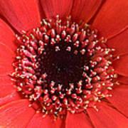 Gerbera Daisy Flower IIi Poster by Natalie Kinnear