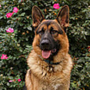 German Shepherd Dog Poster by Sandy Keeton