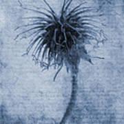 Geum Urbanum Cyanotype Poster by John Edwards