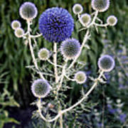 Globe Thistle Poster by Rona Black