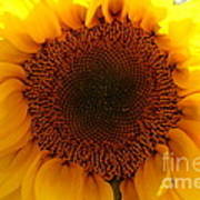 Golden Ratio Sunflower Poster by Kerri Mortenson