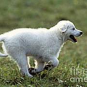 Golden Retriever Puppy Poster by Jean-Michel Labat