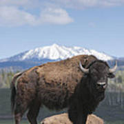 Grand Tetons Bison Poster by Charles Warren