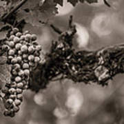 Grapes In Grey 1 Poster by Clint Brewer