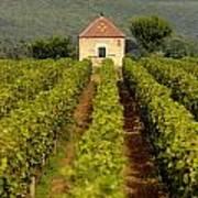 Grapevines. Premier Cru Vineyard Between Pernand Vergelesses And Savigny Les Beaune. Burgundy. Franc Poster by Bernard Jaubert