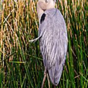 Great Blue Heron Poster by Edward Fielding