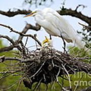 Great Egret Chicks - Sibling Rivalry Poster by Carol Groenen