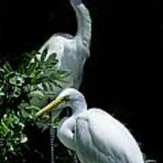 Great Egret Pair Poster by Skip Willits