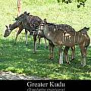 Greater Kudu Poster by Chris Flees