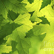 Green Maple Leaves Poster by Elena Elisseeva
