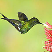 Green Thorntail Hummingbird Poster by Anthony Mercieca