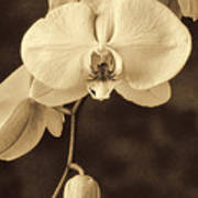 Hanging Orchid Poster by Garry Gay