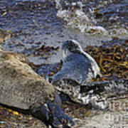 Harbor Seal Nursing Poster by George Oze